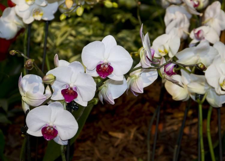 Festival des orchidées à Menton